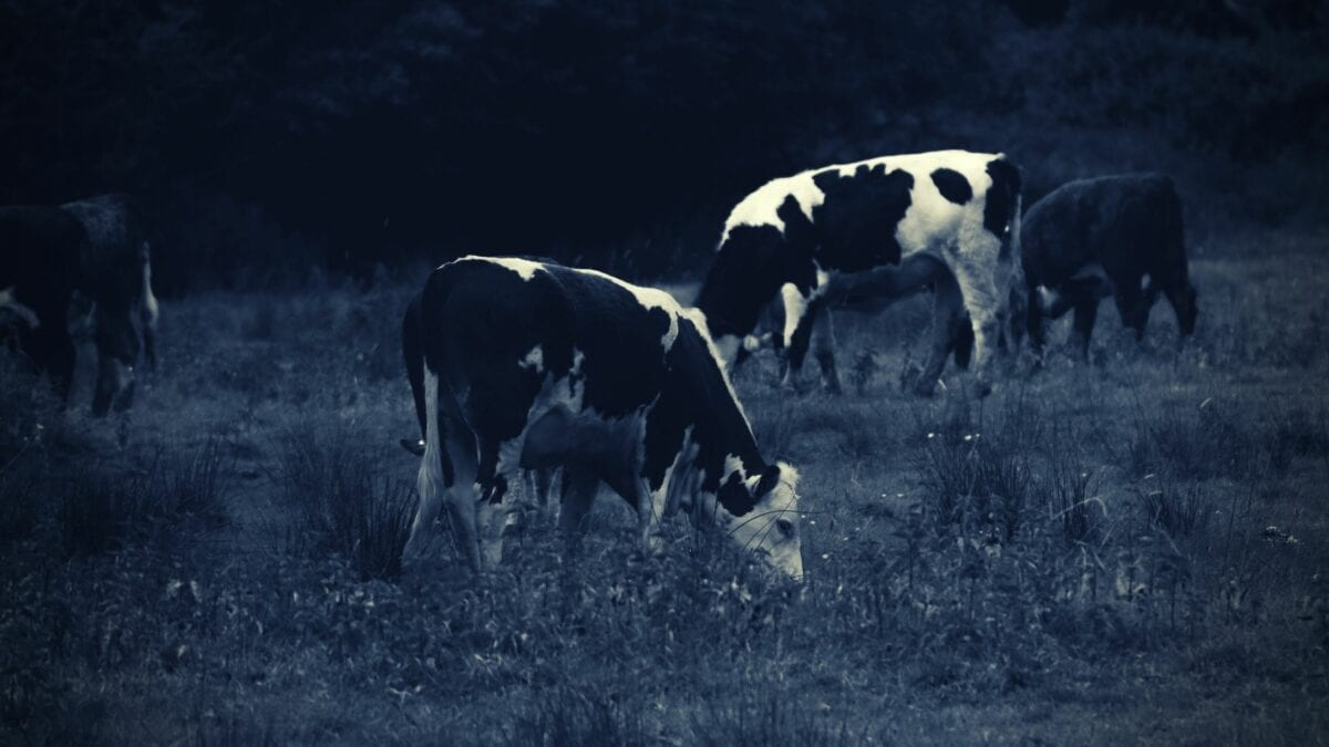 Woodstock Cows Black And White
